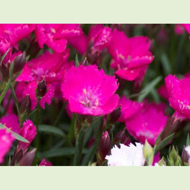 Dianthus Waikiki Pink