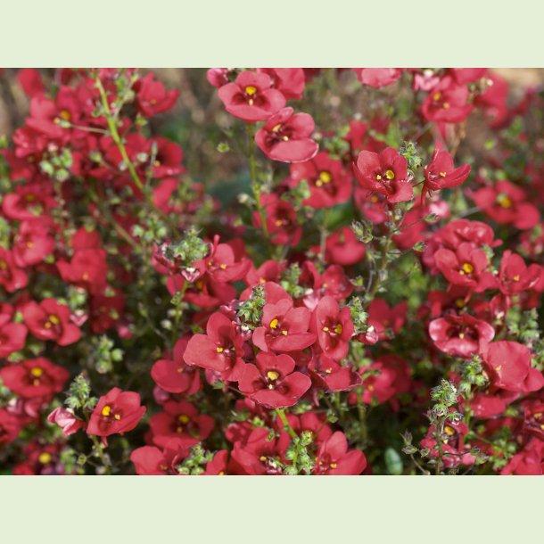 Diascia Piccadilly Dark Red
