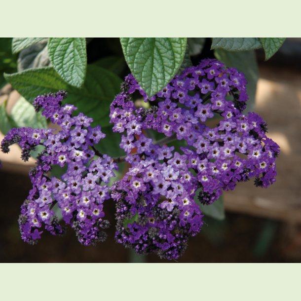 Heliotropium Marino Blue