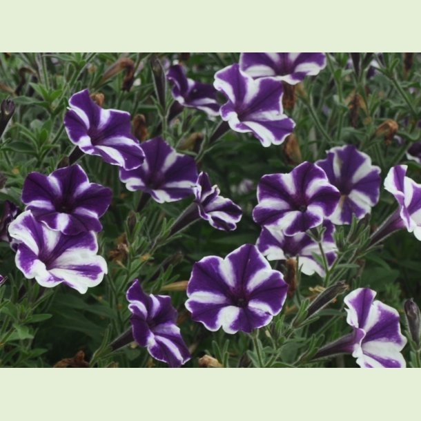 Petunia 'Blueberry Star'