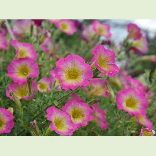 Petunia 'Daybreak Charm'