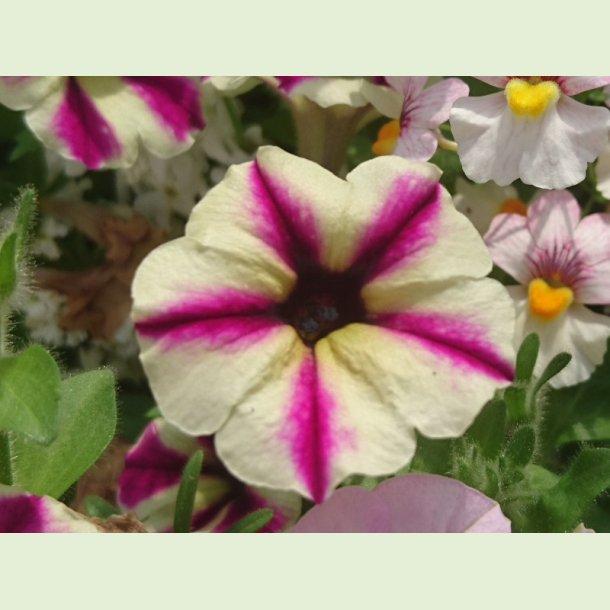 Petunia 'Dreamstar'