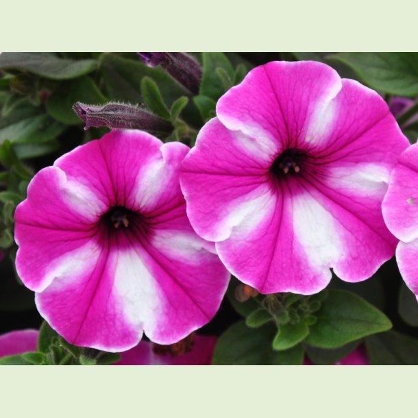 Petunia 'Raspberry Star'