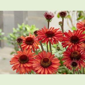 Echinacea / Purpursolhat TO Bee!