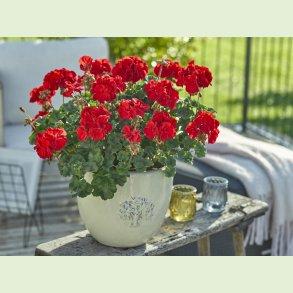 Zonale Pelargonium