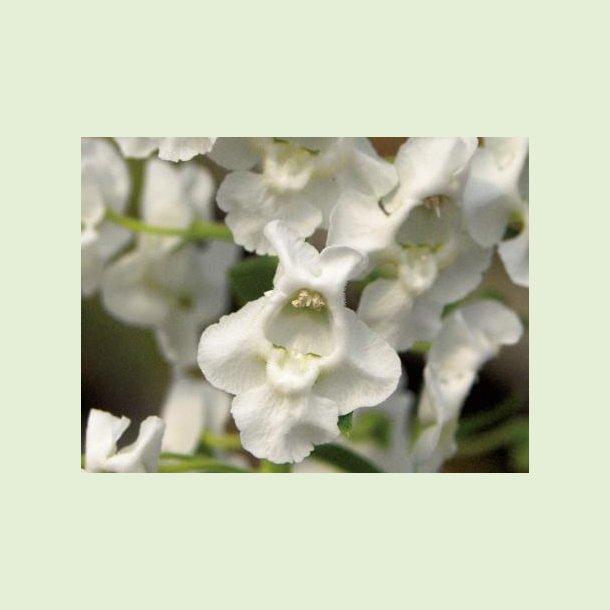 Angelface Carrara White