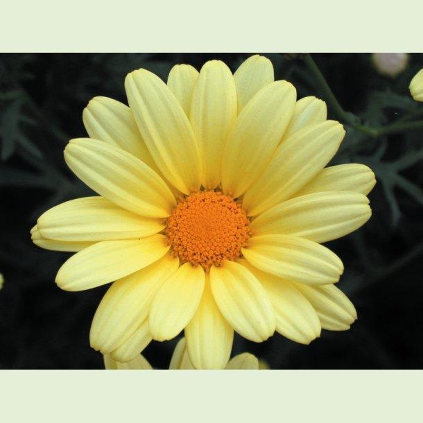 Argyranthemum Butterfly