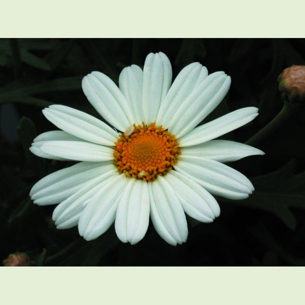 Argyranthemum Polly