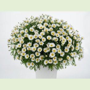 Argyranthemum / Marguerit