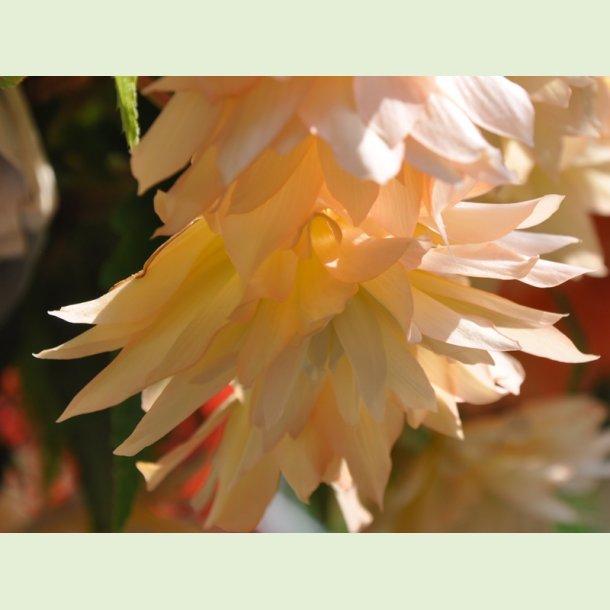 Belleconia Cream