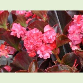 Begonia Gumdrops
