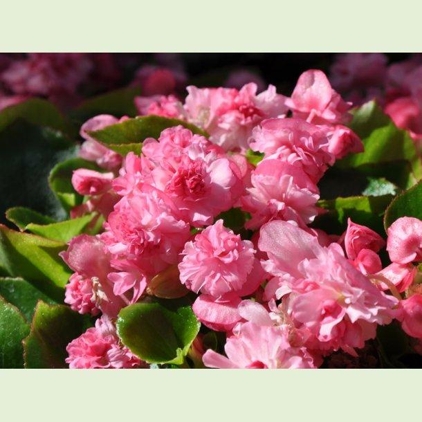 Gumdrop Pink