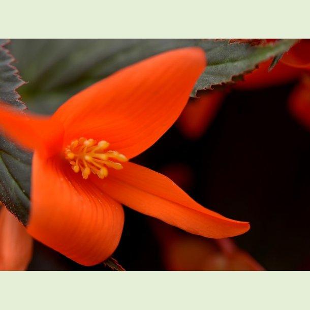Summerwings Ebony and Orange