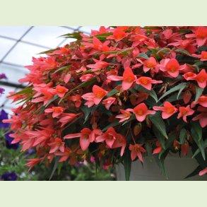 Begonia / Hængebegonia