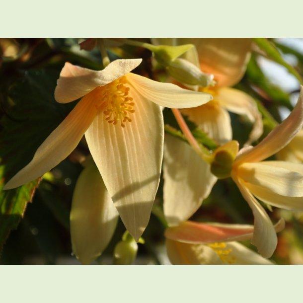 Summerwings Vanilla