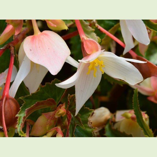 Summerwings White Elegance