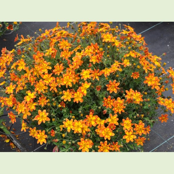 Bidens 'Hot and Spicy'