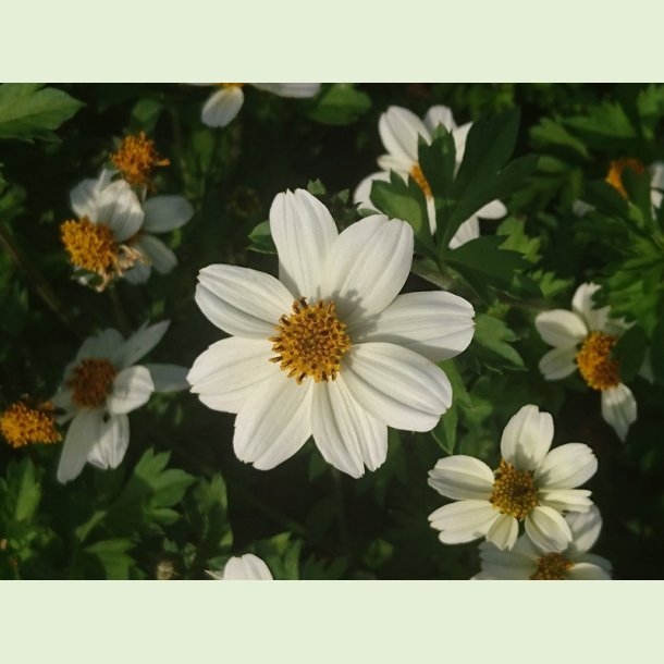 Bidens 'Smiley White'