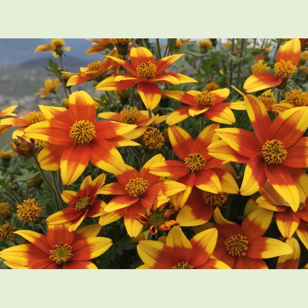 Bidens 'Spicy Fire'