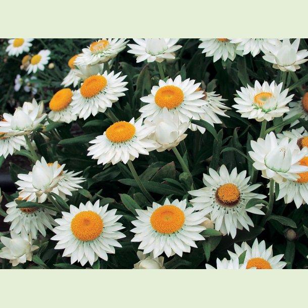 Sunbrella White