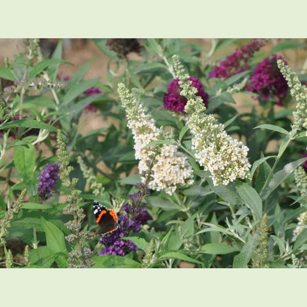 Buddleja BUZZ mix