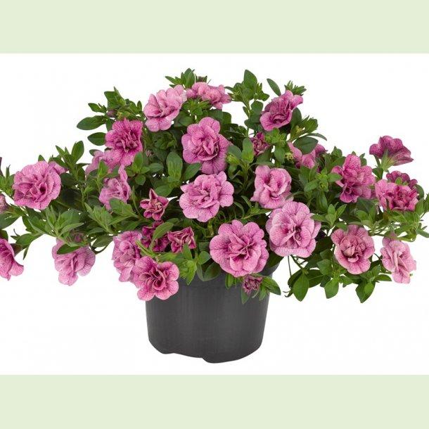 Calibrachoa Can-Can Pink Vein