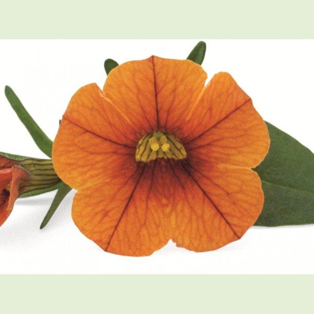 Superbells Orange