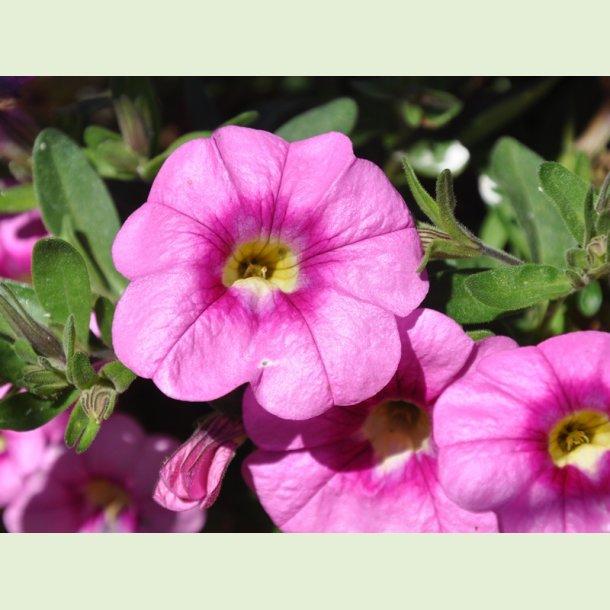 Superbells Unique Pink