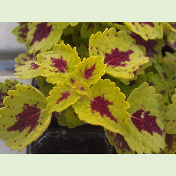 Coleus Chocolate Drop