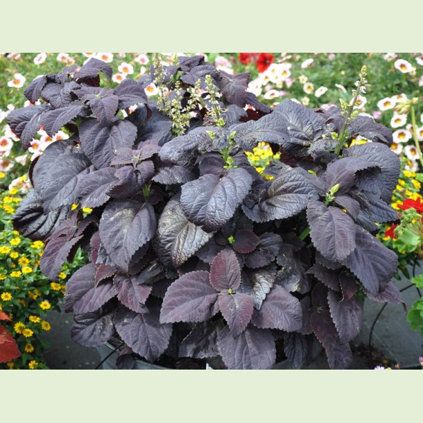 Coleus Black Star