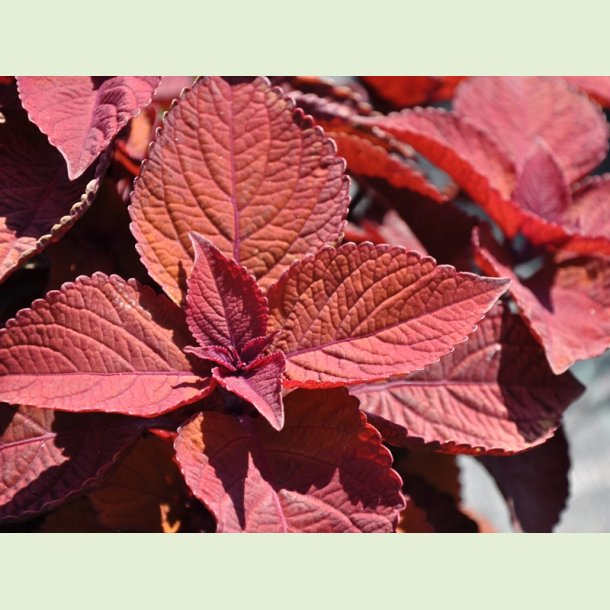 Coleus Keystone Copper