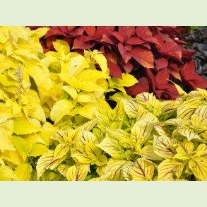 Coleus (Solenostemon) / Paletblad