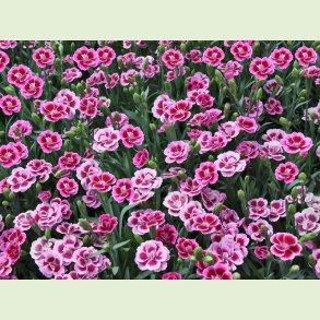 Dianthus / Mini nellike