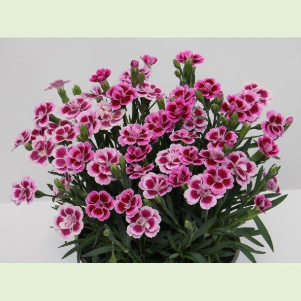 Dianthus 'Pink Kisses'