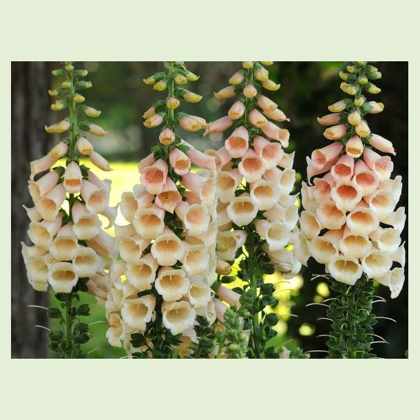 Digitalis purpurea 'Peach'