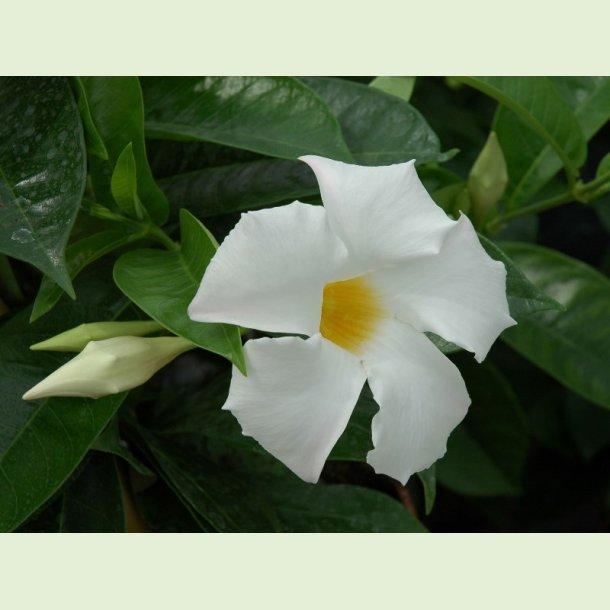 Dipladenia Sundaville White