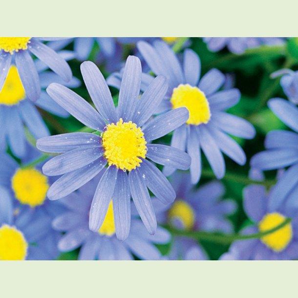 Felicia 'Forever Blue'