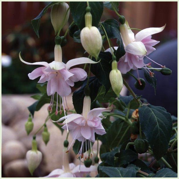 Fuchsia 'Holly's Beauty'