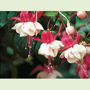 Fuchsia for alle