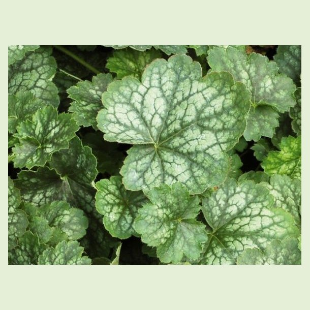 Heuchera Peppermint