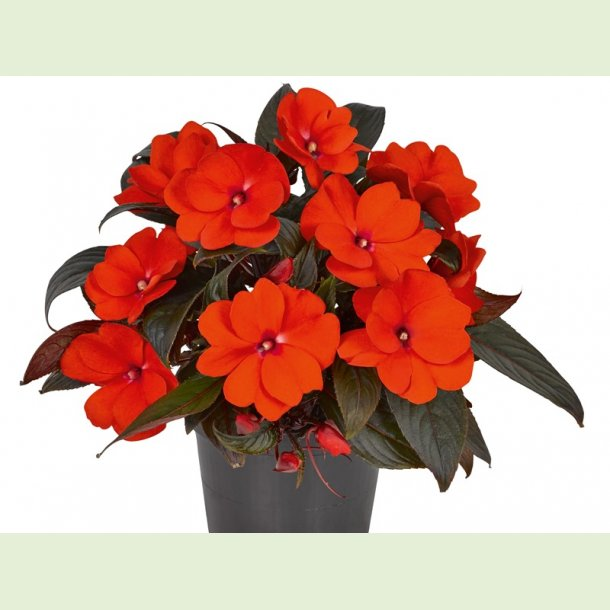 Impatiens Clockwork Dark Leaved Orange