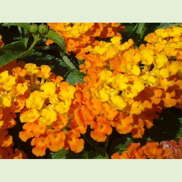 Calippo Orange