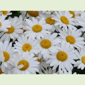 Leucanthemum / Havemarguerit
