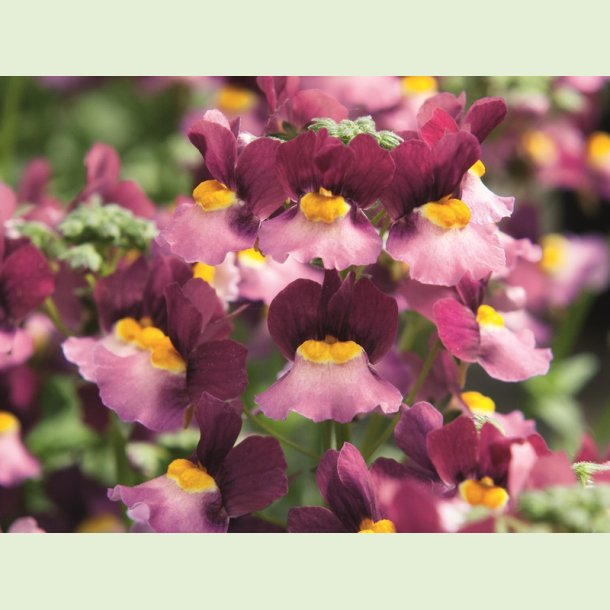 Nemesia FAIRY KISSES 'Boisenberry'