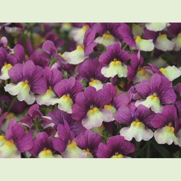 Nemesia FAIRY KISSES 'Vanillaberry'