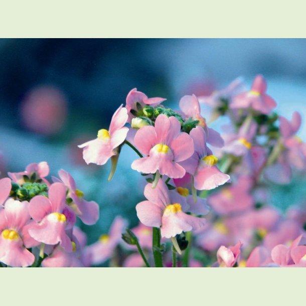 Nemesia 'Karoo Pink'