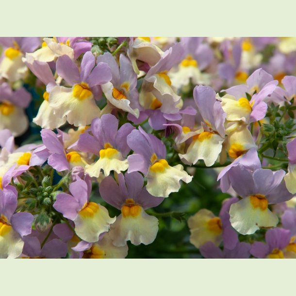 Nemesia FAIRY KISSES 'Pink Lemonade'