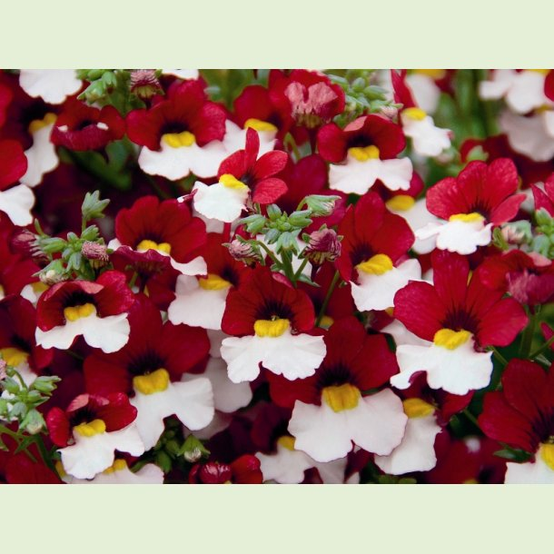 Nemesia Sunsatia 'Cherry on Ice'