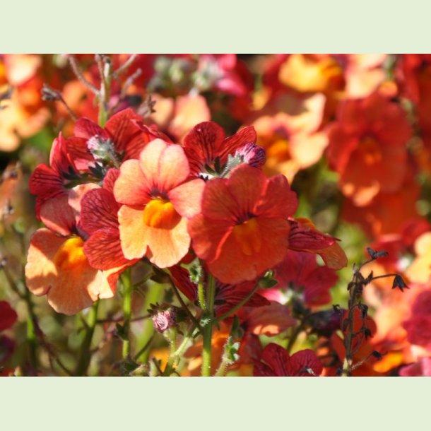Sunsatia Clementine