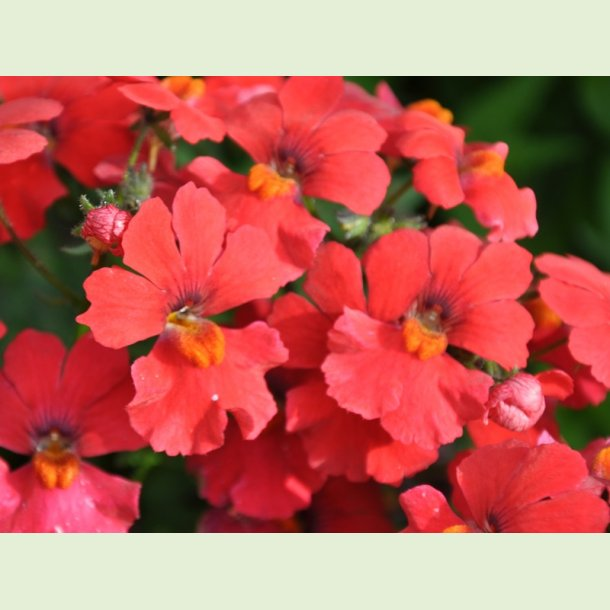 Sunsatia Little Cherry
